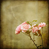 Branch of roses on a vintage texture Stock Image