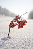 Branch of rowan. In the snow near the road Stock Photography