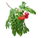Rowan branch with berries and leaves on a white background. Branch of rowan also known as mountain ash with cluster of red berries and green leaves on a white royalty free stock photos