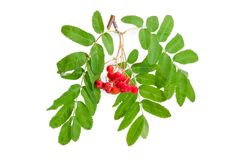 Rowan branch with clusters of berries on a white background. Branch of rowan also known as mountain ash with clusters of red berries and green leaves on a white royalty free stock photo