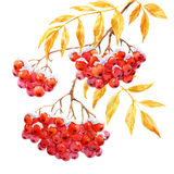 Branch of rowan. Beautiful image with watercolor hand drawn branch of rowan stock illustration