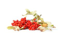 Branch of rowan berries. Autumn red fruits - branch of rowan berries on white background Stock Photos