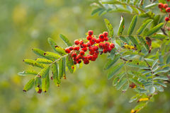 Branch of rowan berries. Branch of rowan with ripe berries Royalty Free Stock Photo