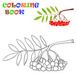 A branch of rowan - Coloring Book Royalty Free Stock Images