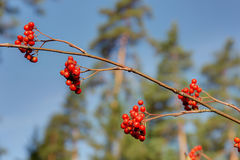 Branch of rowan in the foreground Royalty Free Stock Photos