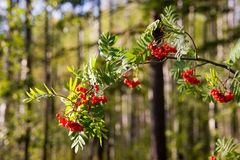 Branch of a rowan-tree Stock Images