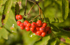 Branch of a rowan-tree Royalty Free Stock Photos