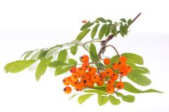 A branch of a rowan tree isolated on a white background.  royalty free stock photography
