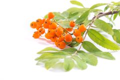A branch of a rowan tree isolated on a white background.  stock photos