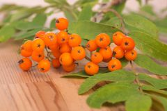 A branch of a rowan tree on a wooden table. A branch of a rowan tree is lying on a wooden table royalty free stock image