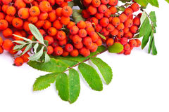 Branch of rowanberries Royalty Free Stock Images