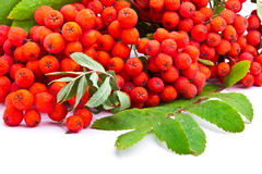 Branch of rowanberries Stock Photo
