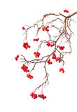 Branch of rowanberry. With berry on white background in the style of Chinese painting Royalty Free Stock Image