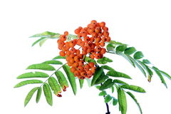 Branch of rowanberry Royalty Free Stock Photography