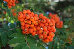 A branch of Rowanberry fruit stock photography