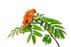 Branch of rowanberry isolated Stock Photo