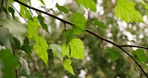 Branch of russian birch with green leaves moving in the wind. stock video footage