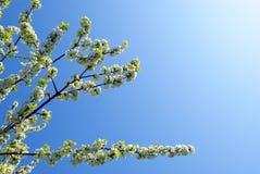 Branch of sakura Stock Images
