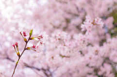 Branch of Sakura Stock Photo
