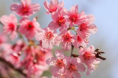 Branch Sakura blooming Royalty Free Stock Images