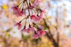 Branch Sakura blooming Stock Images