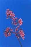 Branch Sakura blooming Stock Photography