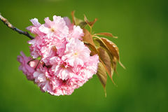 Branch of sakura blossom, close up. Stock Photo