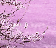 Branch sakura Stock Images