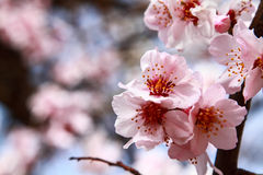 Branch sakura Royalty Free Stock Photos