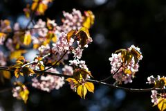 Branch of sakura. One blooming branch of sakura at blurred dark background in rim light with beautiful bokeh Royalty Free Stock Photos