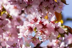 Branch of sakura. One blooming branch of sakura at blurred pink background Royalty Free Stock Photography