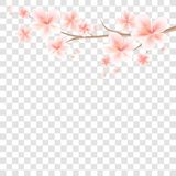Branch of Sakura with Pink flowers and flying petals isolated on. Transparent background. Apple-tree flowers. Cherry blossom. Vector EPS 10 cmyk royalty free illustration