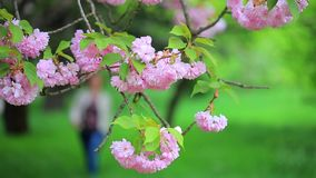 Branch of sakura tree sways in wind at the background of female figure passing by. stock video
