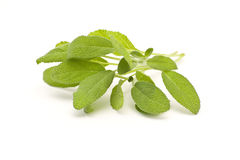 Branch of salvia Stock Images
