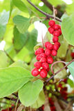 Branch of schisandra Royalty Free Stock Photography