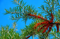 Branch of sea-buckthorn Stock Images