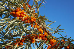 Branch of sea-buckthorn Royalty Free Stock Photography