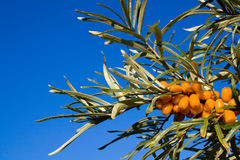 Branch of sea-buckthorn Stock Photo