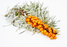 The branch of sea-buckthorn berrie Royalty Free Stock Photo
