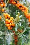 Branch of sea buckthorn berries. And rain drops Stock Image