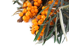 Branch of sea-buckthorn berries Stock Image