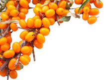 Branch of sea-buckthorn berries Stock Photos