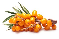 Branch of sea buckthorn berries, clipping paths Royalty Free Stock Photo
