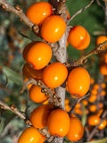 Branch with sea-buckthorn berries. Stock Photos