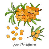 Branch of sea buckthorn berries Royalty Free Stock Image