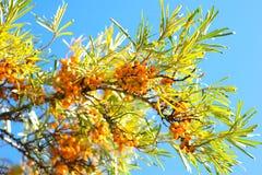Branch of sea buckthorn berries Stock Image
