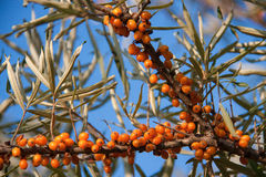 Branch of sea buckthorn berries on sky background Royalty Free Stock Images
