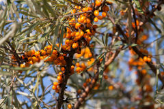 Branch of sea buckthorn berries on sky background Royalty Free Stock Image