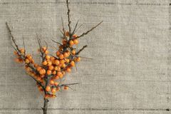 Branch of sea buckthorn royalty free stock photos