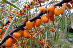 Branch of sea buckthorn  on the diagonal of the frame Royalty Free Stock Image